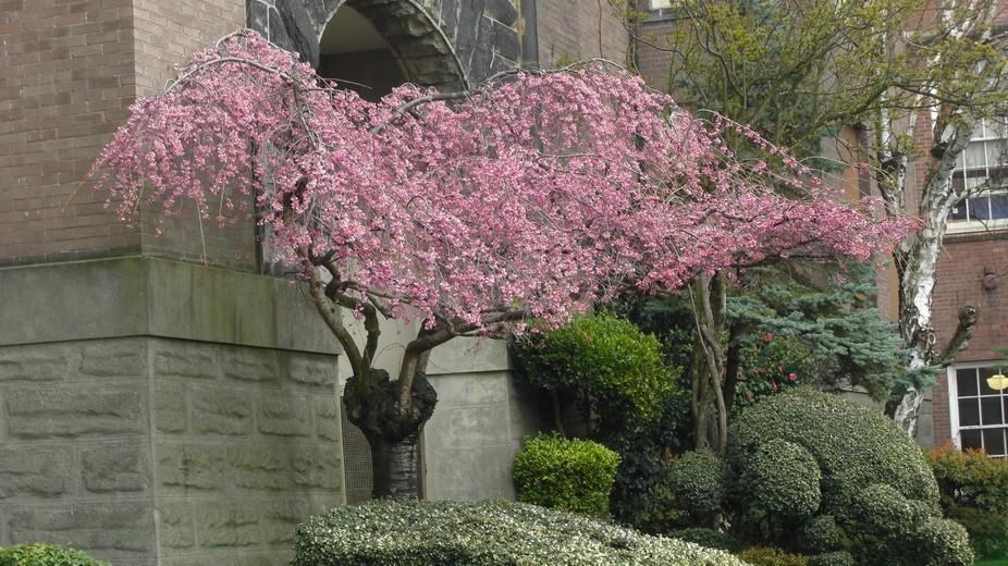 Flowering Cherry Tree Nordic Heritage Museum  Seattle, Wa. USA