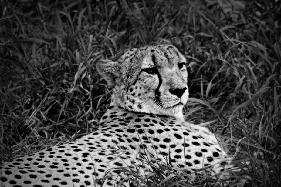 Cheetah's spots
