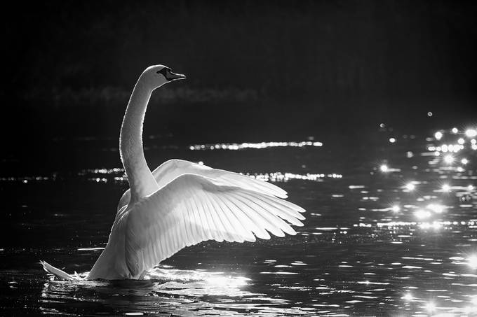 The Conductor of Swan Lake by Irene_van_Nunen - Animals And Water Photo Contest