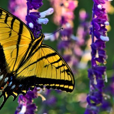 """Warm sunny fall weather in the Hill Country brings out the color.  This fellow has a huge wingspan, 4"""" -- this is the Western Tiger Swallowtail."""