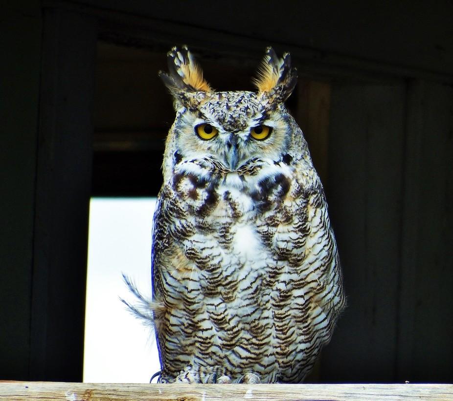 Horn owl