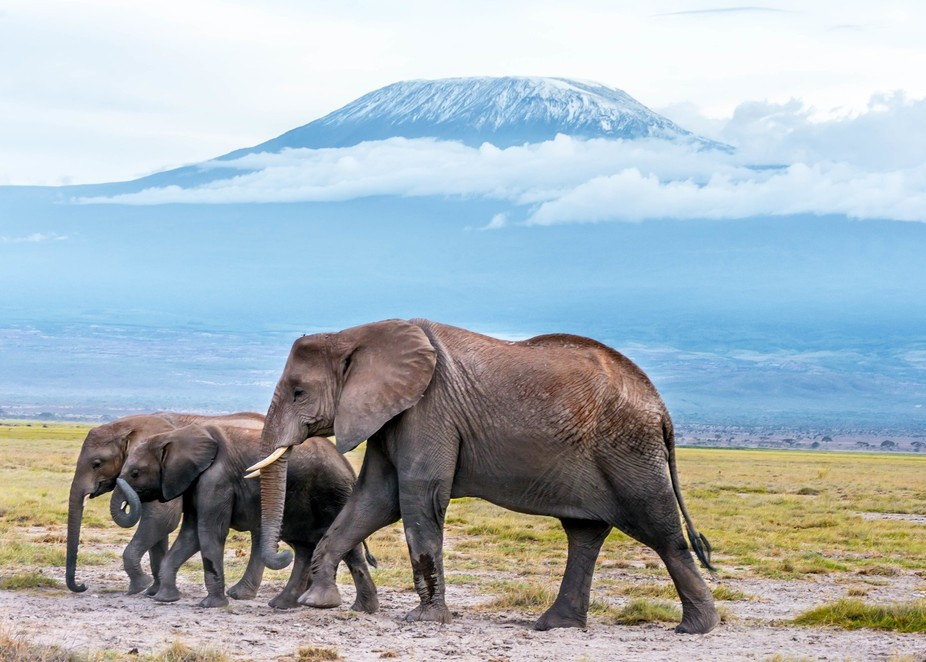 This stunning image was taken in Amboseli National Park. In the background is Mount Kilimanjaro a...