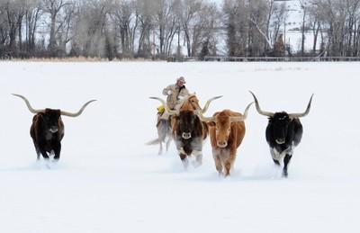 The Longhorns of Wyoming