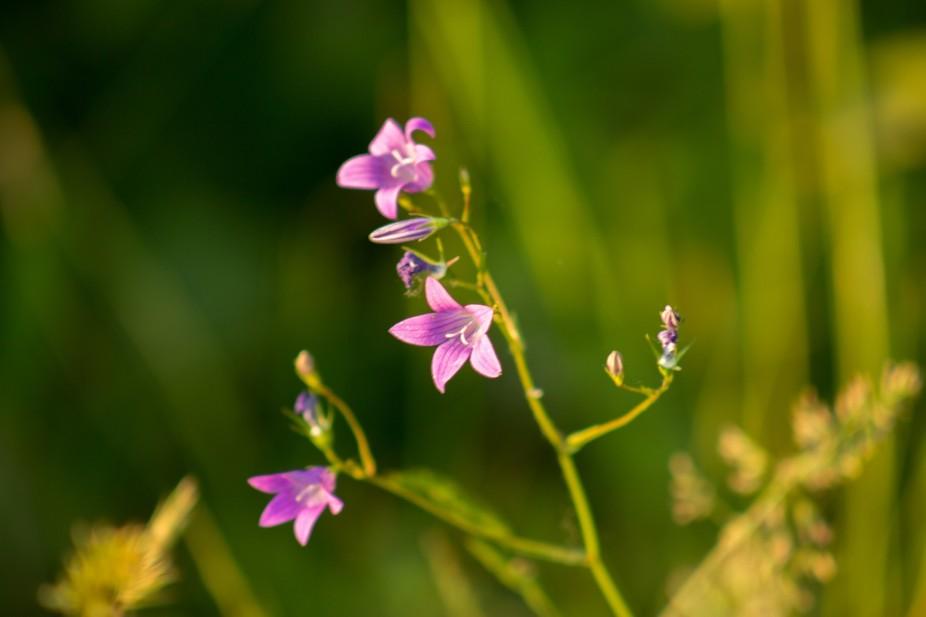 Carpathian flower
