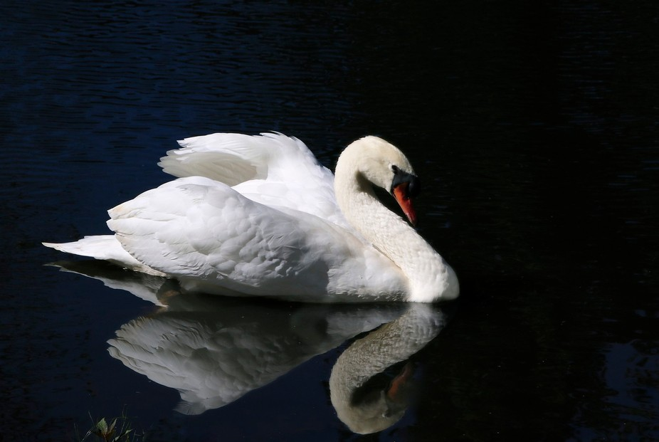 This is a mute swan. He swam in front of me showing off a bit. This was taken in the daylight but...