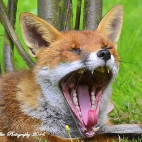 "This is ""WhiteTip"" the resident dog fox which lives just at the back of my garden, here he is sunbathing and having a yawn"