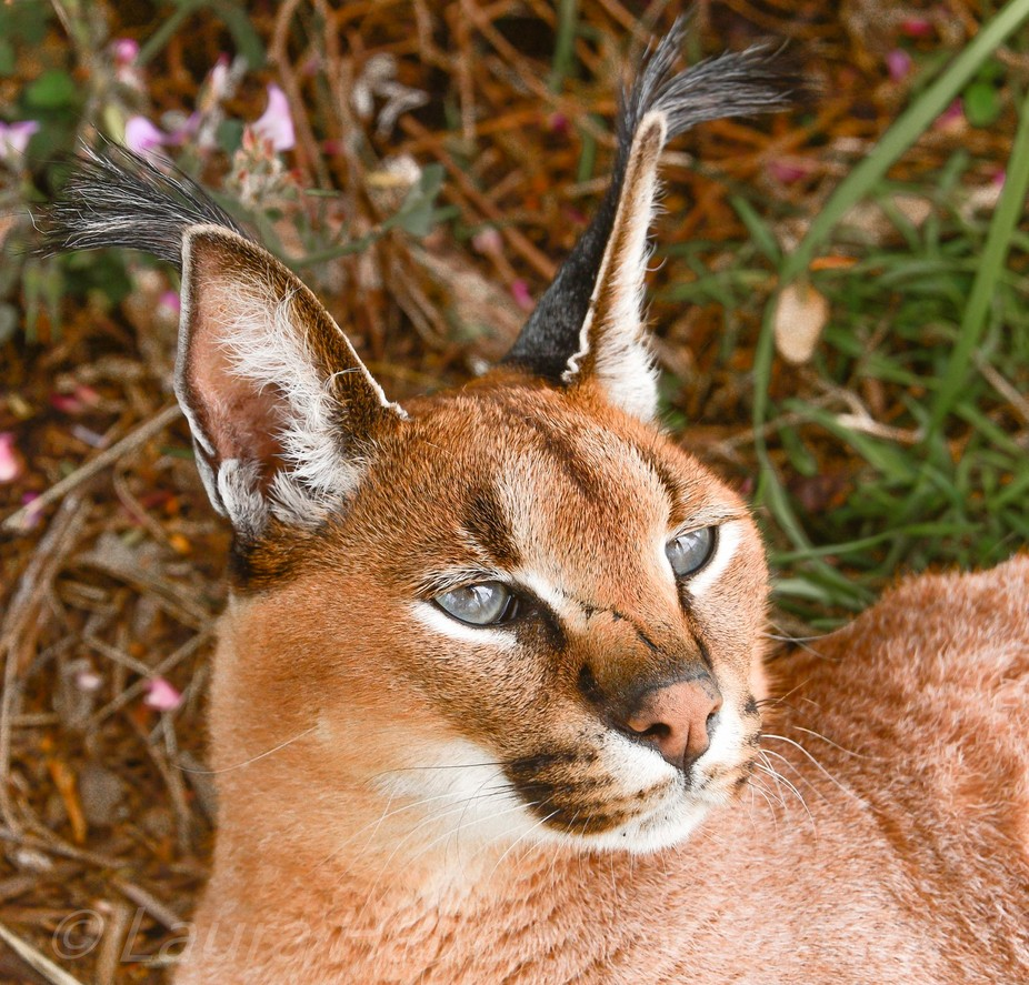 A caracal on the look out.