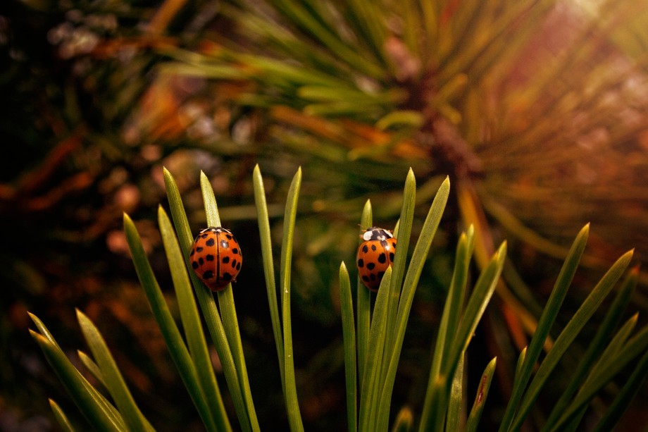 Ladybug Swarm