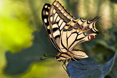 Borboleta Cauda de Andorinha(Papilio machaon)