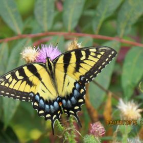 Tiger swallowtail butterfly on a thistle.  Photo taken in the Shenandoah National Forest - Blue Ridge Mountains, Virginia.