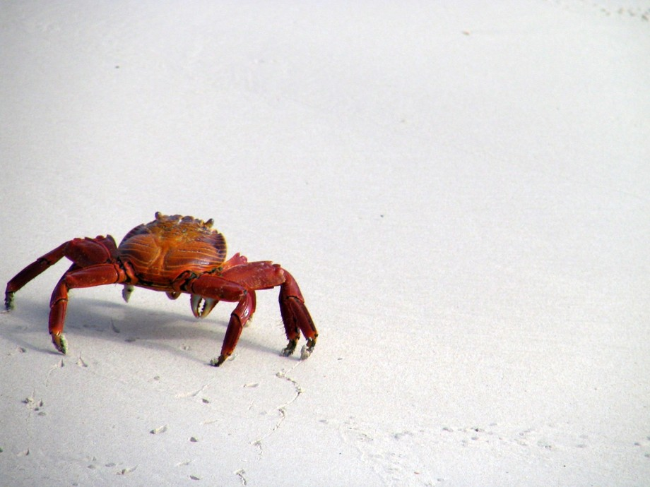 While in the Galapagos Islands I became fascinated by the Sally Lightfoot Crabs who could move so...