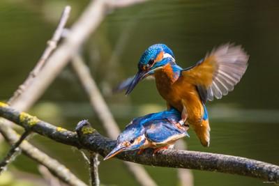Kingfisher's coupling