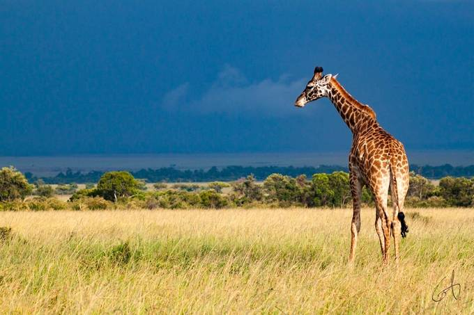 Giraffe Posing by gabrielasse - Rule Of Thirds Photo Contest v3