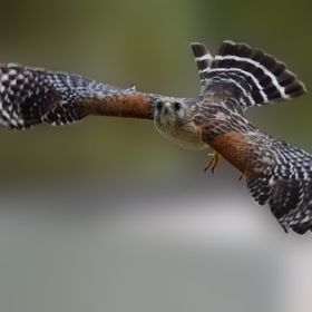 Red Shoulder Hawk in flight by Deborah Berry