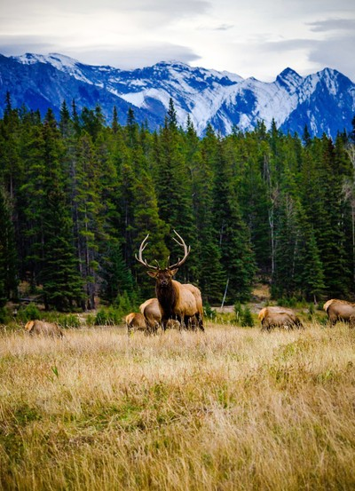 Rocky Mt Elk in The Rockies