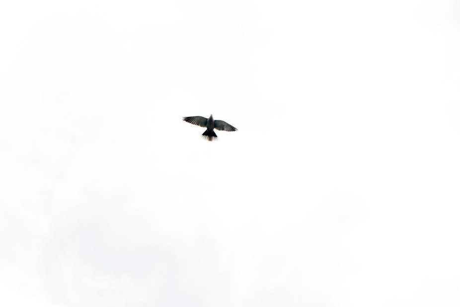 Lone Dove
