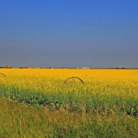 Exploring the highways of SE Alberta came across this Canola Field. Beautiful yellow fields