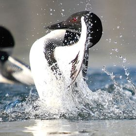 adult male loon doing his display trying to establish supremacy