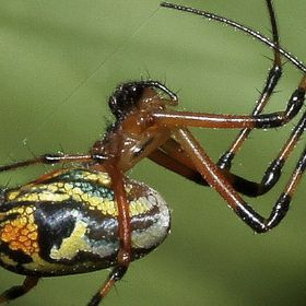 Orchard orb spider