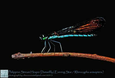 Philippine Stream Hesper Damselfly evening star