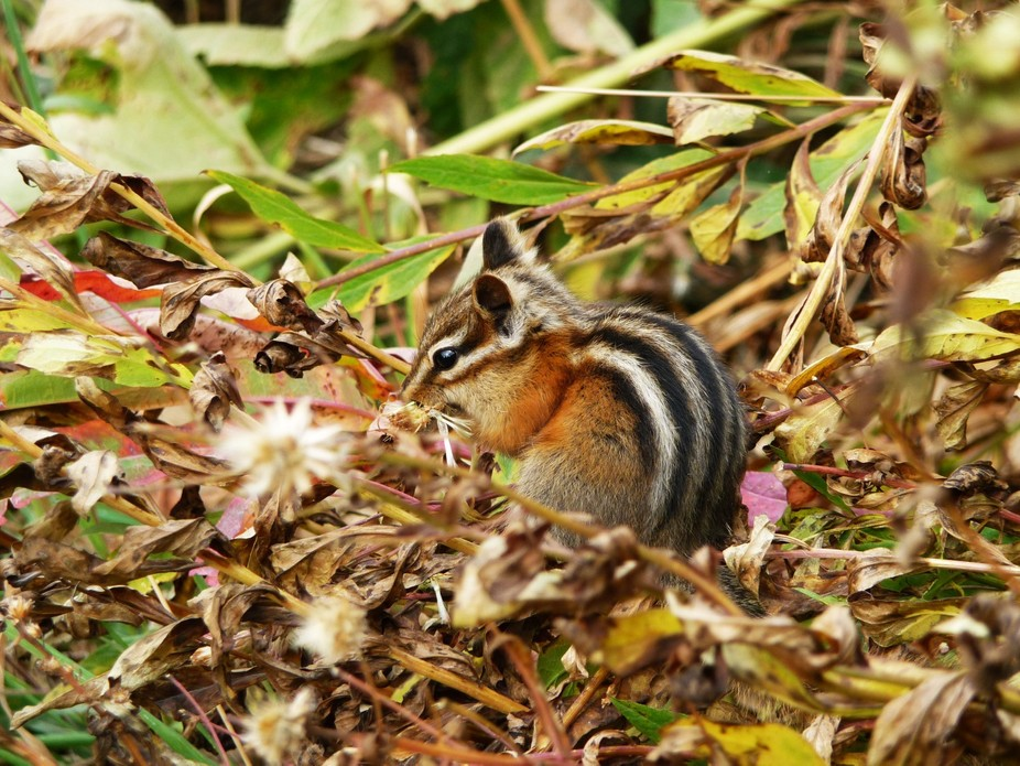 A hungry chipmunk eats a flower pod near Iceburg Lake, Glacier National Park.