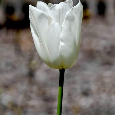 White Tulip -  Mount Tomah,   NSW, Australia