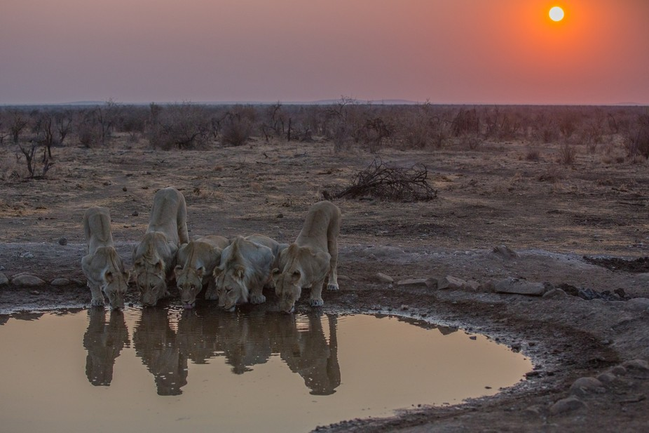 Early morning sighting of magnificent pride of Lion drinking from waterhole.
