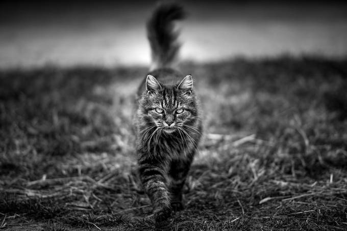 My Feline Muse  by FotoCavallo - Monochrome Creative Compositions Photo Contest