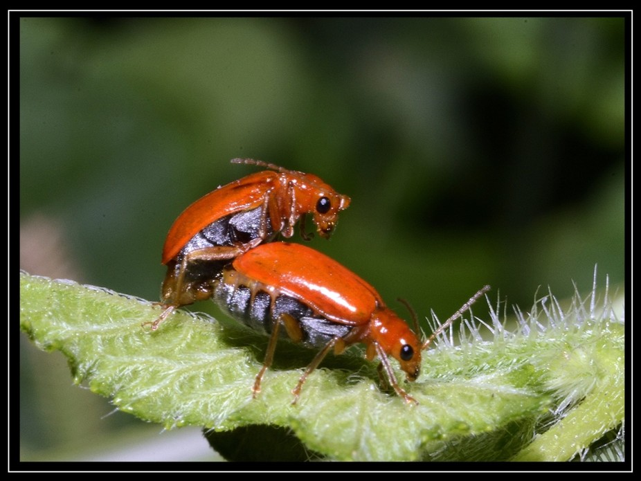 lady bugs mating-1a