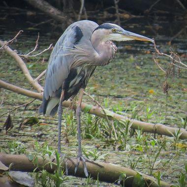 Blue Heron Ozark River