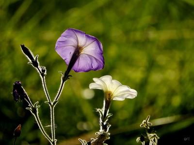 Sunny Petunia