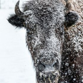 Bison cow covered in snow. This photo won the National Bison Association photo contest, 2017 And has been a  featured photo 4 times on viewbug:  ...