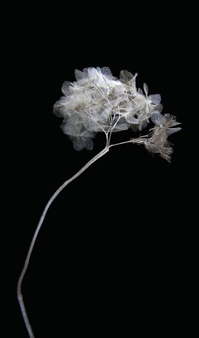 Hydrangea dried up1_1
