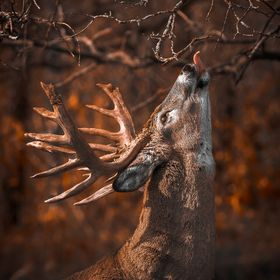 A Whitetail marks his territory on a licking branch. Scent plays an important role in the world of the whitetail.