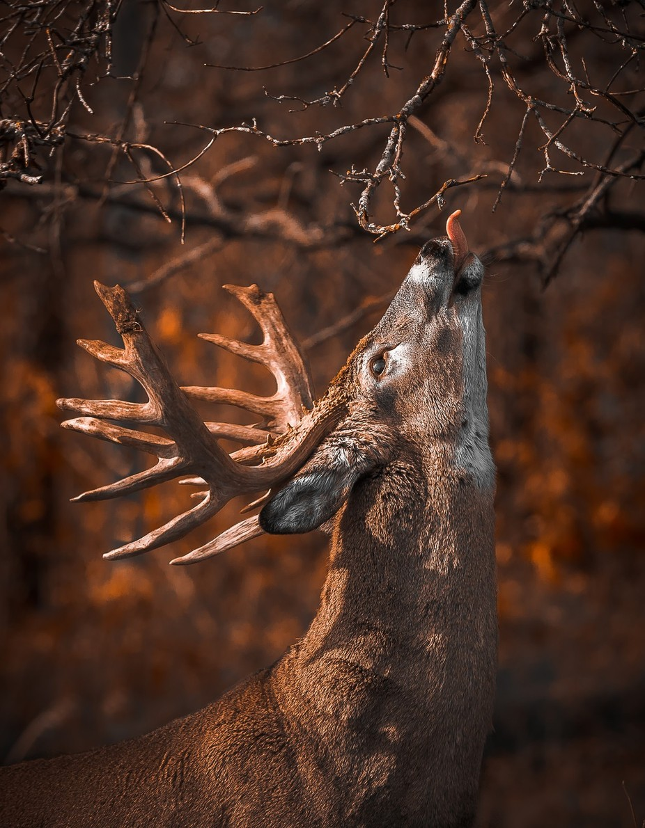 Whitetail by Cbries - Animals And Rule Of Thirds Photo Contest