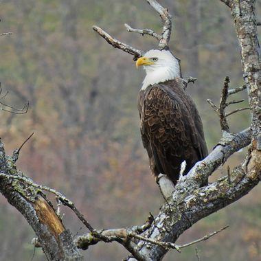 Wildwood Eagle
