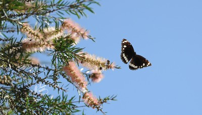 Black and white Butterfly Down Under