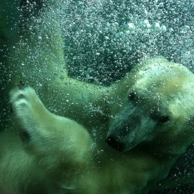 The polar bear at Columbus Zoo. It had just jumped in the water.