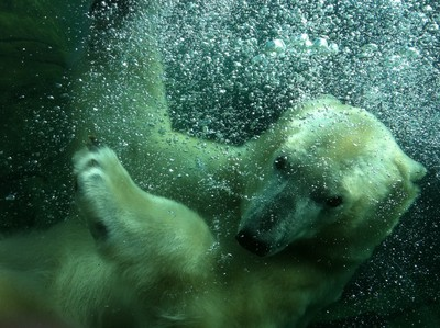 Polar Bear and Bubbles