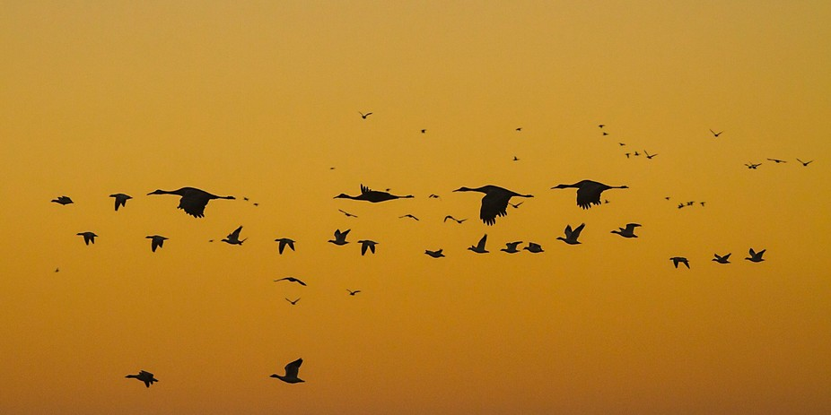 Sandhill Cranes and Snow Geese as they fly at sunrise in Socorro,New Mexico