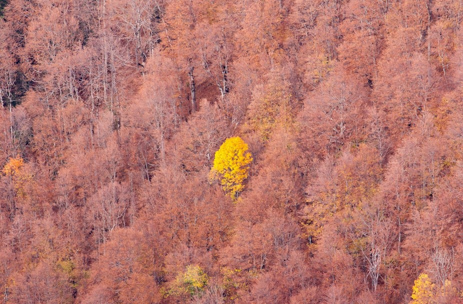 A yellowish birch tree standing out from the surrounding beech tree forest. Picture taken in the ...