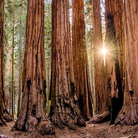 "The sun bursting through ""The House,"" a famous cluster of sequoias along the Congress Trail in Sequoia National Park. The scale of these tree..."