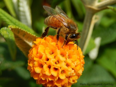 Honey Bee on Buddleja globosa