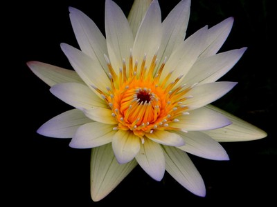 Living Water Lilly