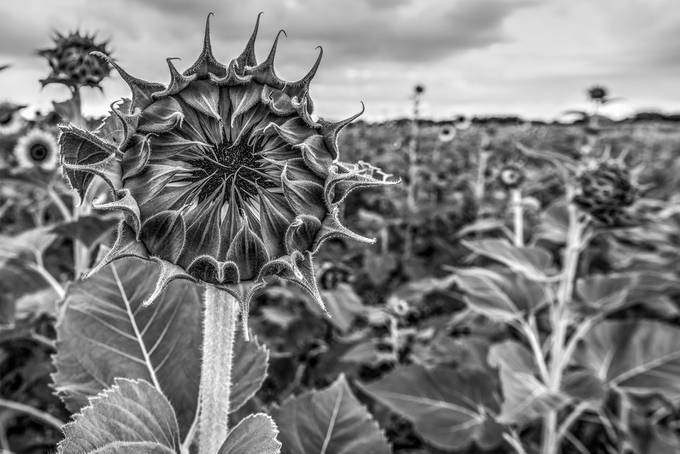 Sunflower Before the Bloom by PhilMcCabe - Depth In Nature Photo Contest
