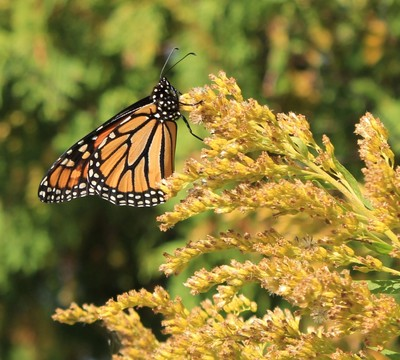 Gorgeous monarch  butterfly