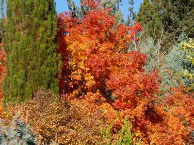 Flaming Orange Bush 1030488