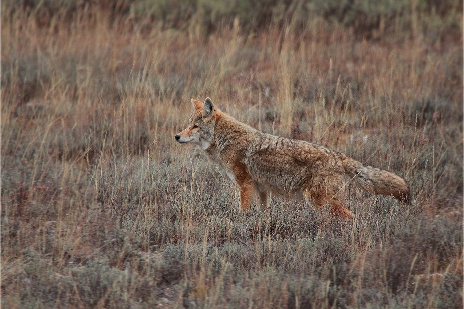 Driving along the road in Grand Teton National Park I saw this beauty standing in the field next ...