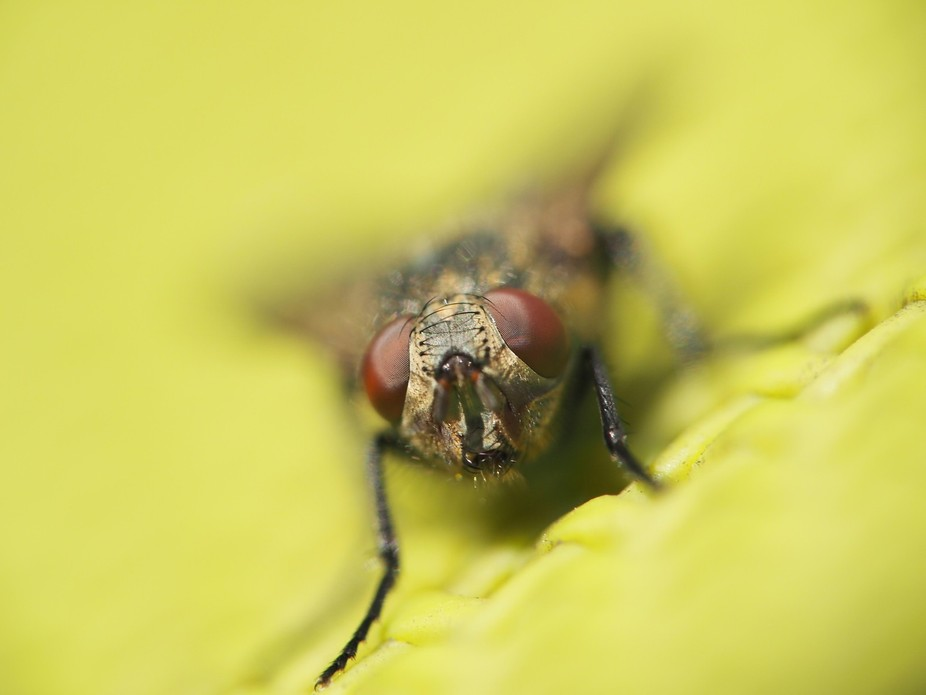 Fly on a patio chair as I was experimenting with lens reversal technique. Olympus EM-1  with 135m...