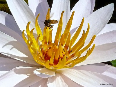 Bee and white lily-1